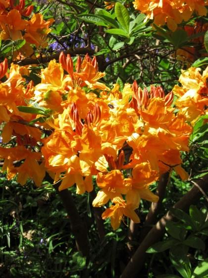 Rhododendron Christopher Wren