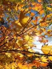 acer shirasawanum jordan autumn