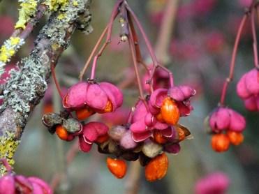 eunonymus europaeus red cascade red pink