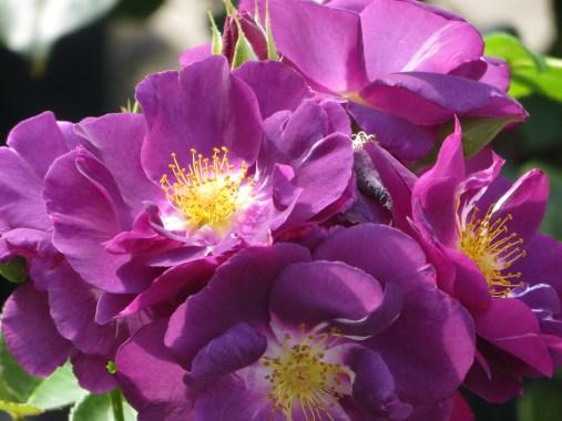 rose rhapsody in blue