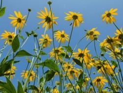 rudbeckia yellow blue sky