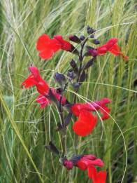salvia red grass
