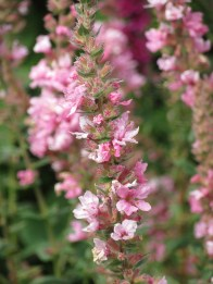 Lythrum salicaria Blush