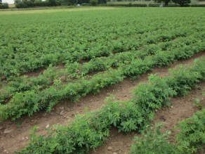 Rosa laxa rootstocks - ready for 2020 potentials