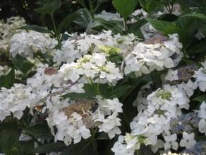 H. macrophylla Lanarth White