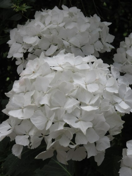 H. macrophylla Nymphe