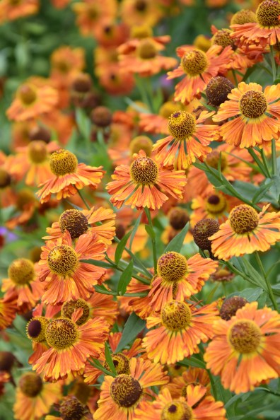 Helenium Riverton Gem