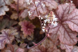 Heucherella Honey Rose