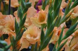 Gladiolus Ovaite