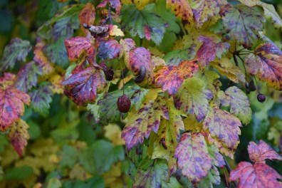 Autumn colour - unnamed tree at Wisley