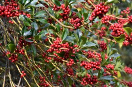 Ilex aquifolium Pyramidalis