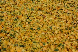 Ginkgo pendula leaves