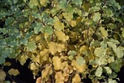 Pittosporum tenuifolium Warnham Gold