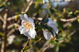 Camellia Cornish Snow