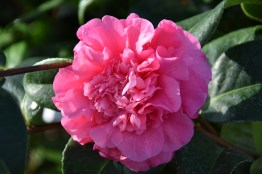 Camellia x williamsii Debbie