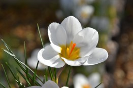 Crocus chrysantha Ard Schenk