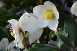 Hellebore orientalis