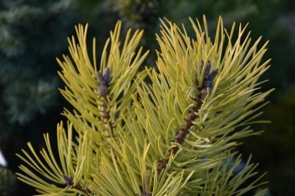 Pinus sylvestris Gold Medal