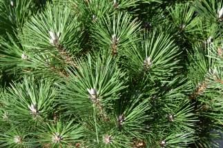 Pinus thunbergii Maejima