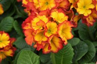 Polyanthus Sheila's Red Dragon (I think)