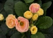 Primrose Belle Rose