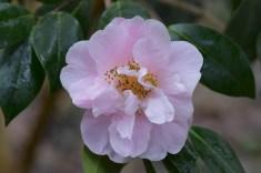 Camellia Felice Harris