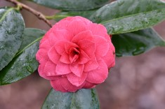 Camellia japonica C N Hovey