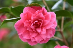 Camellia x williamsii Innovation