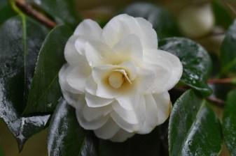 Camellia japonica imbricata alba