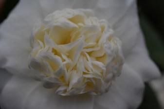 Camellia Snowball
