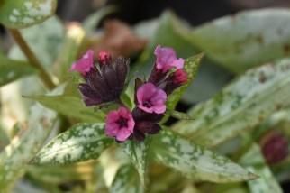 Pulmonaria Silver Bouquet