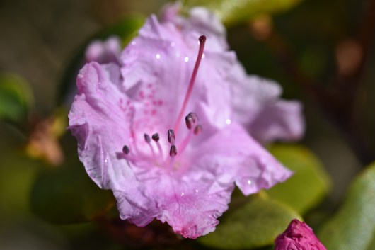 Rhododendron Olive