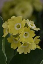 Auricula