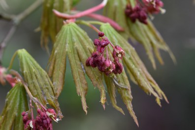 Acer palmatum var heptalobum