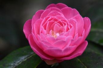Camellia x williamsii Ballet Queen
