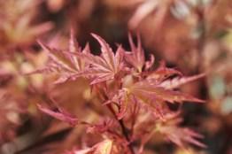 Acer japonicum Beni Tsukasa