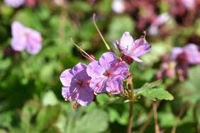 Geranium Ingwerson's Variety