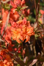 Rhododendrom Lindleyi