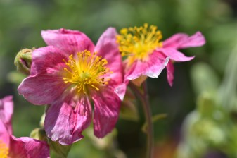Helianthemum Raspberry Ripple