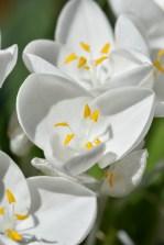 Weldenia candida