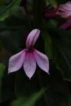 Lobelia Compton Pink