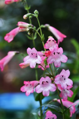 Penstemon Pensham Loganberry Ice
