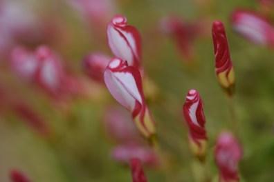 Narcissus versicolour