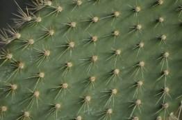 Opuntia echios var barringtonii (Galapagos Islands)