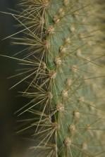 Opuntia echious