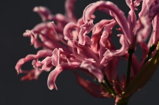 Nerine flexuosa