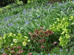 newletter-hellebore-naturalised