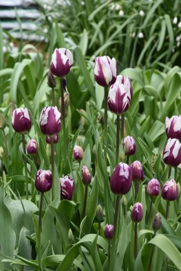 Tulips Rem's Favourite