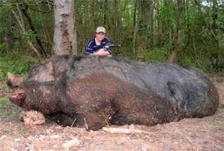 kompas giant pig story