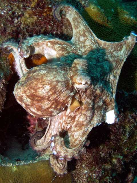 Octopus on the Buddy Dive house reef